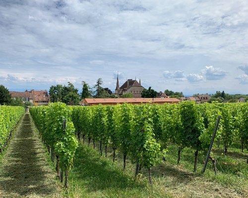 Château d'Auvernier Vines